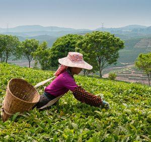 Comment choisir son thé de Darjeeling