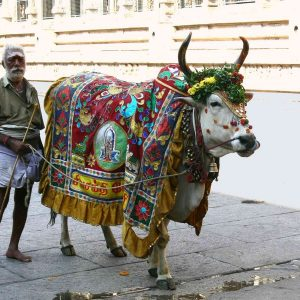 Les vaches sacrées